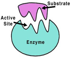Enzyme_001[1]